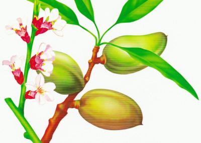 větvička s mandlemi